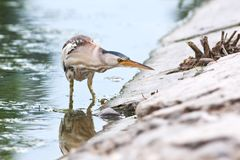 Little bittern, adult, female / Ixobrychus minutus Royalty Free Stock Photography
