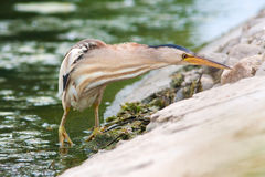 Little bittern, adult, female / Ixobrychus minutus Stock Photos