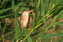 Little bittern, adult, male / Ixobrychus minutus Royalty Free Stock Photos