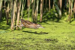 A little bittern attacking prey. In the green grass covered with water Royalty Free Stock Image