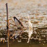 Little bittern dives into the water for fish. Ixobrychus minutus Stock Photo