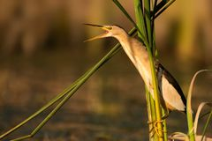Little bittern hanging holding on to reeds with open beak.  Stock Photography