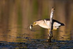 Little bittern holds on to a stick with a big fish in its beak. Little bittern holds on to a stick with a big fish in its beak Ixobrychus minutus stock photography