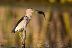 Little bittern holds on to a stick with a big fish in its beak. Ixobrychus minutus royalty free stock photo