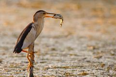 Little bittern holds on to a stick with a big fish in its beak. Ixobrychus minutus royalty free stock photos