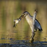 Little bittern holds on to a stick with a big fish in its beak. Ixobrychus minutus royalty free stock images