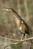 Little bittern / Ixobrychus minutus Stock Photos