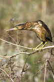 Little bittern / Ixobrychus minutus Royalty Free Stock Photos