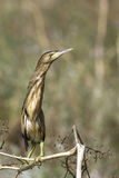 Little bittern / Ixobrychus minutus Royalty Free Stock Images