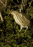 Little bittern / Ixobrychus minutus Stock Photo