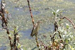 The little bittern Ixobrychus minutus. Royalty Free Stock Photo