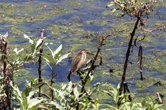 The little bittern Ixobrychus minutus. Stock Image