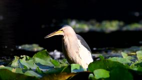 Little bittern Ixobrychus minutus in natural habitats stock footage