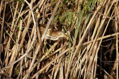 Little bittern,Ixobrychus minutus Stock Photo
