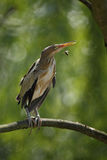 Little Bittern, Ixobrychus minutus, sitting on the branch with bee Stock Image