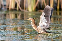 Little Bittern Ixobrychus Minutus Stands In The Water Stock Photography