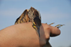 Little bittern Ixobrychus minutus Royalty Free Stock Photography