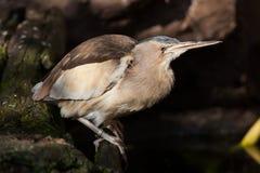Little bittern (Ixobrychus minutus). Stock Photos