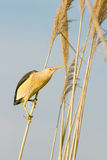 Little bittern, male / Ixobrychus. A male of little bittern on the reed / Ixobrychus minutus Royalty Free Stock Photos