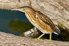 Little Bittern resting (Ixobrychus minutus) Royalty Free Stock Photo