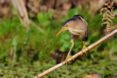 Little bittern watching (ixobrychus minutus) Stock Photos