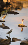 Little Bitterns in India Royalty Free Stock Images