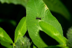 A little black ant crawling on a green leaf. Macro. Stock Photos