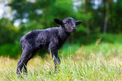 The little black baby goats in the meadow. royalty free stock photography