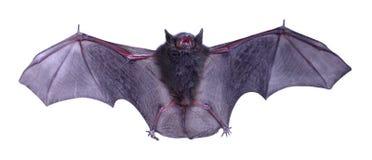 Little black Bat isolated on white background. Stock Image