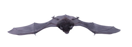Little black Bat isolated on white background. Stock Image