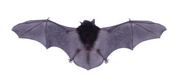 Little black Bat isolated on white background. Stock Photos