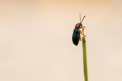 Little black beetle on top of a grass blade Stock Image