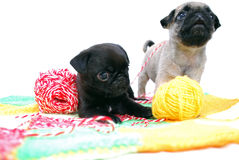 Little black and beige puppies of a pug play with balls of threads Stock Photos