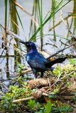 A Little Black Bird on the Edge of Pond. An ominous bird looking out into the marsh stock photography