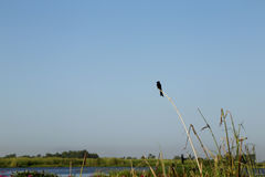 Little black bird on reed in swamp with blue sky background Royalty Free Stock Photo