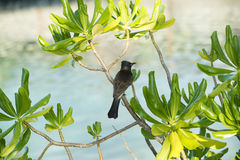 Little black bird Royalty Free Stock Image