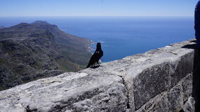 Little black bird on a stone wall. A small black bird on a stone wall, in the background an Atlantic ocean and a mountain Royalty Free Stock Photography