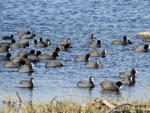 Little black birds on flood water, Lithuania. Beautiful black little birds floating on water in flood field near Sausgalviai village royalty free stock photography