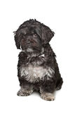 Little black boomer dog. In front of a white background Stock Images