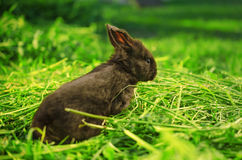 Little black bunny looking at evening light Royalty Free Stock Photos