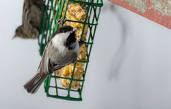 Little black capped chickadee on a suet cage feeder in early March.  Happy songbird on a mild day, coming of spring. Springtime comes, Black cap chickadee Royalty Free Stock Image