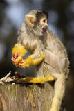 Little black capped squirrel monkey Royalty Free Stock Photos