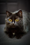 Black cat. Little black cat with big yellow eyes Royalty Free Stock Images