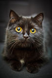 Black cat. Little black cat with big yellow eyes Royalty Free Stock Photo