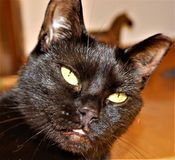 Little black cat with a definite intense look royalty free stock photos