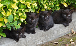 Little black cats brothers Stock Image