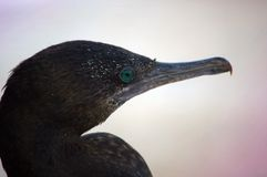 Little black cormorant Stock Images