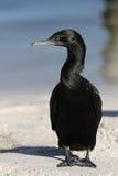Little Black Cormorant (Phalacrocorax sulcirostris) Stock Photos