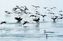 Little black cormorant - Water Birds Stock Photography