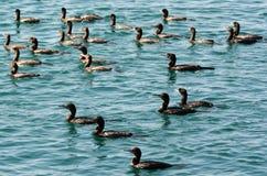 Little black cormorant - Water Birds Stock Image